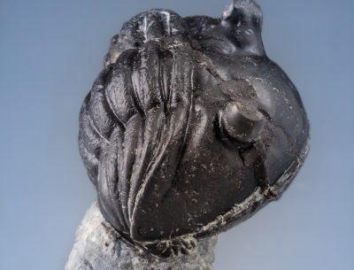 Asaphus lepiderus