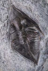 trilobitt