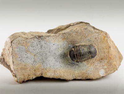 nileus orbiculatus